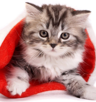 A cute grey kitten in a red Christmas stocking