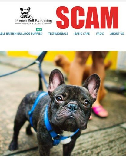 French Bull Rehoming Scam